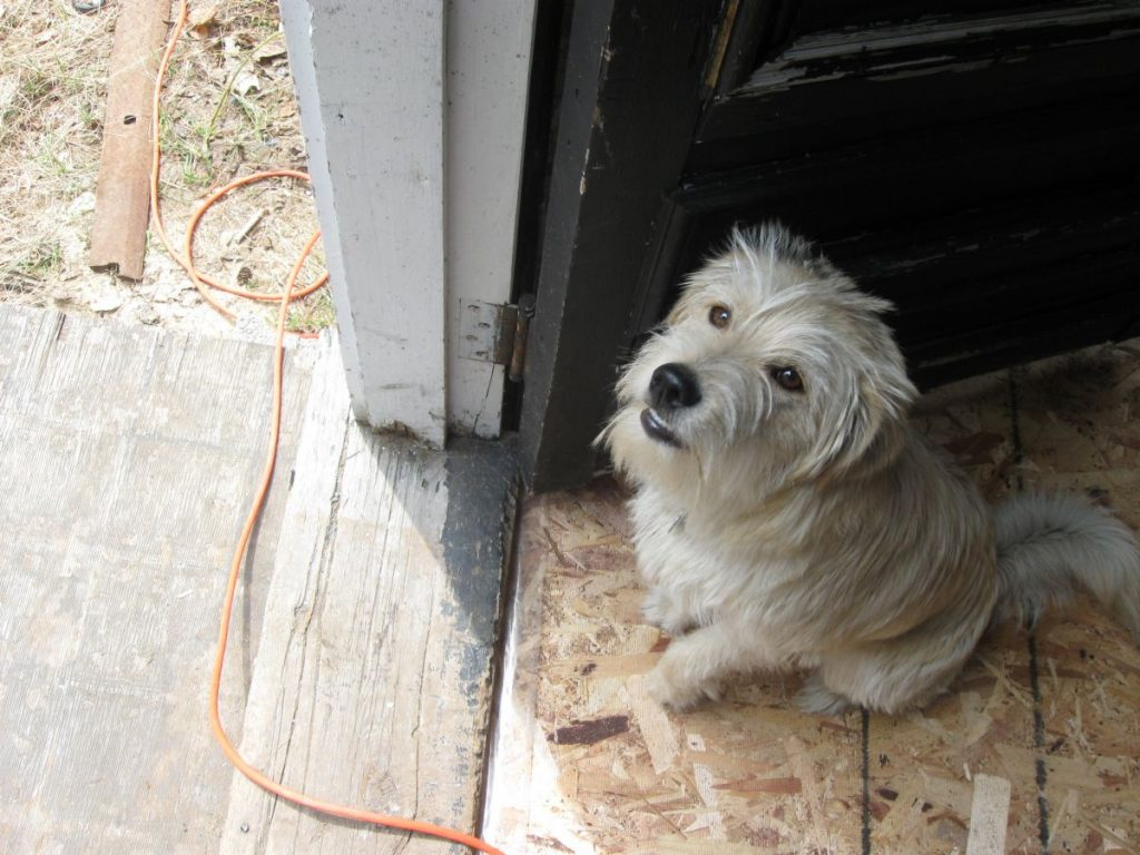 Bertie the dog is looking up lovingly at the camera holder, one of the owners of St. Joseph Island Coffee Roasters. He's standing in the doorway between the outside steps and the inside of the outbuilding that is being renovated for use as a coffee roasting facility.